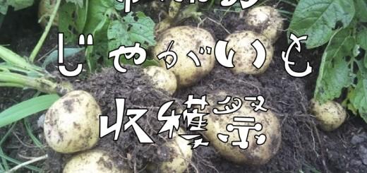 ジャガイモ収穫祭